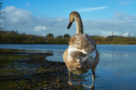 cygnet: A young swan near the waters edge