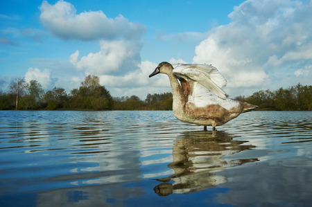 cygnet: A young swan entering the water.
