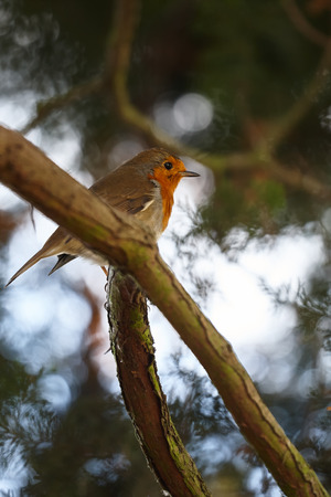 breast animal: European Robin - Erithacus rubecula Stock Photo