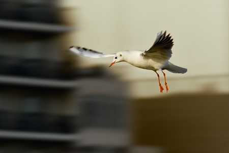 ridibundus: Black headed gull - larus ridibundus
