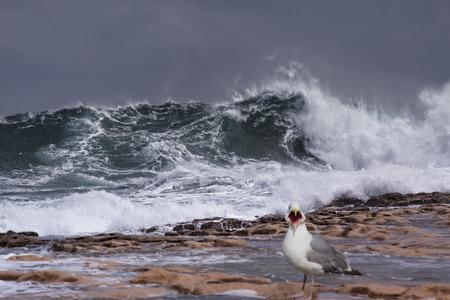 ridibundus: A seagull - Lares Ridibundus - on the beach during a storm in Malta