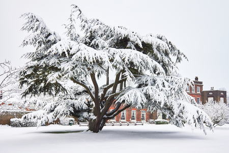 snowfalls: A tall yew tree stands in a field of virgin snow