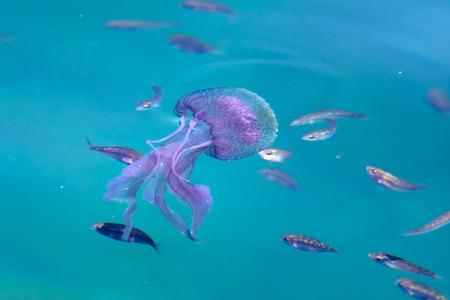 mauve: Mauve stinger jellyfish - Pelagia noctiluca