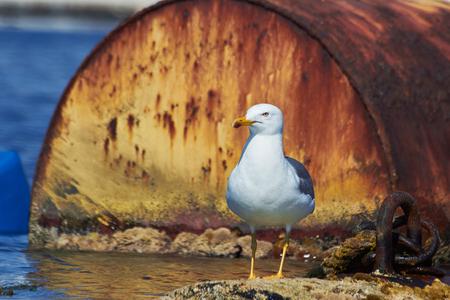 ridibundus: A common gull - larus ridibundus