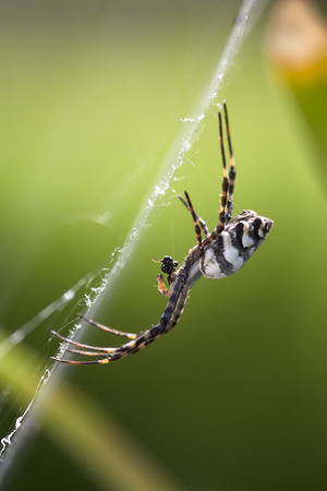 argiope: The Argiope lobata is common in the Maltese islands. This one was found at Ta Qali  national park.