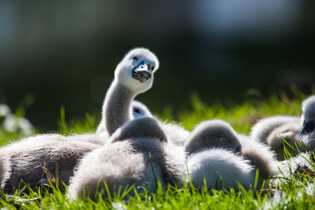 Cygnets in the sun Stock Photo