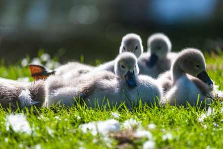 Cygnets resting in the sun Stock Photo