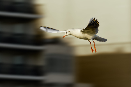A gull with wings spread comes to land 写真素材