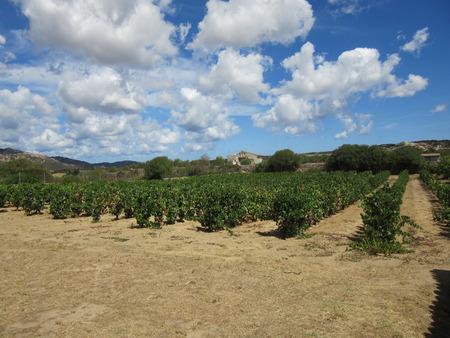 Ein Weinberg auf dem Land in Sardinien Italien Standard-Bild - 63039962