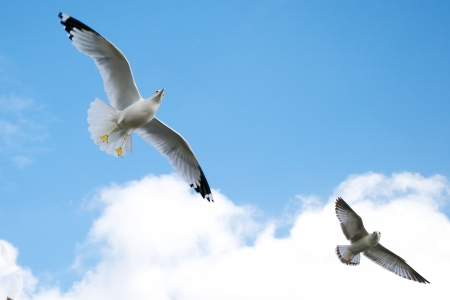 Two Seagulls Soaring Across the Blue Sky Banque d'images