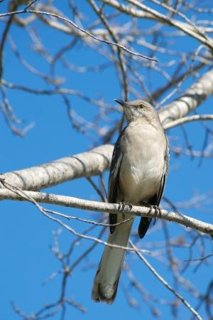 mockingbird: Northern Mockingbird Perched High on a Sunny Winter Day Stock Photo