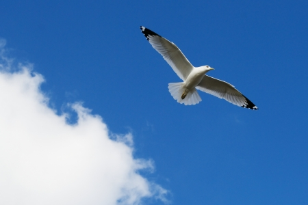 Seagull Gliding against the Backdrop of a heavenly, beautiful blue sky with cotton puff clouds  photo