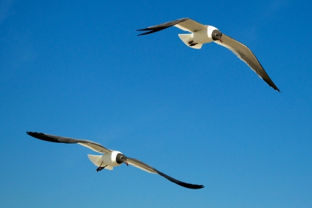 Seagulls Soaring Together photo