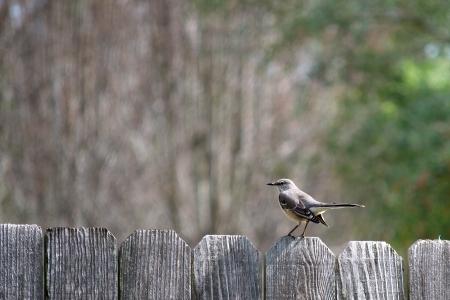 mockingbird: Single Mockingbird Perched on a Fence