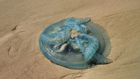 Closeup Of Blue Jellyfish, Queensland, Australia 写真素材