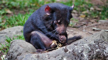 CloseUp Of Cute Tasmanian Devil, Australia, Disappearing Species. 写真素材 - 130717467