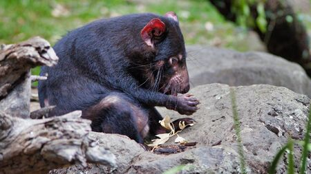 CloseUp Of Cute Tasmanian Devil, Australia, Disappearing Species. 写真素材 - 130717470