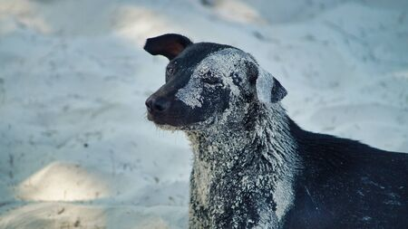 A Dog With Sand On Fur Lying On The Sand On A Beach, Koh Rong Island, Cambodia