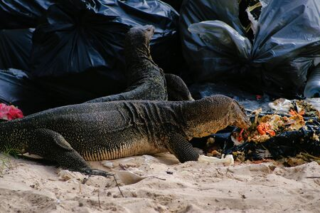 Huge 2 Meters Reptiles Varans Are Eating Garbage  discarded Food From Restaurant.