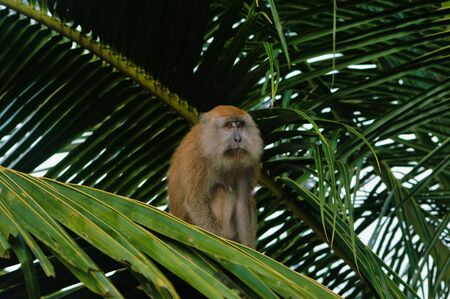 Makak Ape Is Siting On Palm Tree Giving The Impression Of Sadness. 写真素材