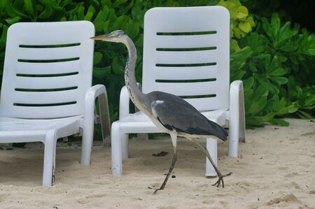 Closeup of beautiful walking heron with hotel chairs on white beach in Maldives near Maafushi Island Maldives