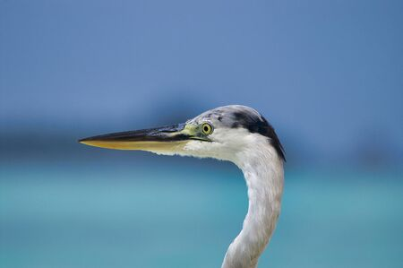 Close up of head of beautiful heron on white beach near Maafushi Island Maldives