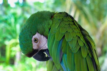 Close Up Of Cute Green Macaw Parrot Ara