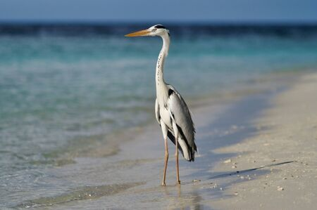 Beautiful Heron On White Beach Near Maafushi Island Maldives Indian Ocean. 写真素材