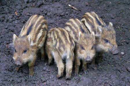 Close Up Of Four Cute Small Wild Boars Piglets 写真素材