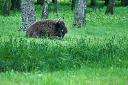 Huge Wilde Polish Bison Zubr In Polish Forest. Zdjęcie Seryjne