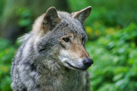 Close up of wild gray wolf in Polish forest.