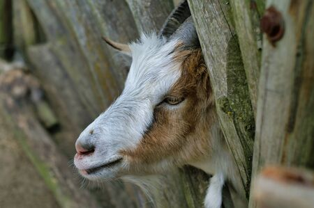Cute Goat between wooden rungs, closeup 写真素材