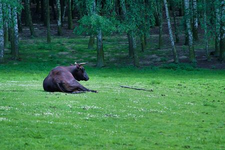 Black Bull Lying In The Field, Green Grass, Birch-Trees 写真素材