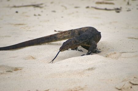 Huge 2 meters reptile varan lizard protruding tongue on a beach 写真素材