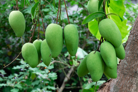 mangoes growing on tree in garden Stock Photo