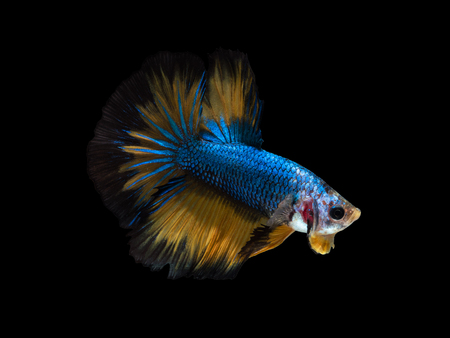 blue fighting fish on black background with clipping path