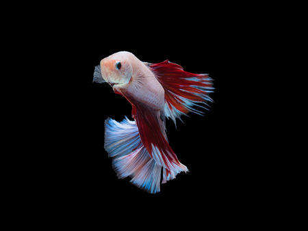 white red fighting fish swimming on black background with clipping path