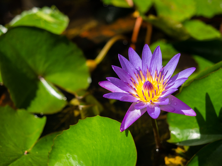 violet lotus in pond with gree leaf background Reklamní fotografie