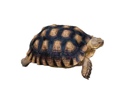 sulcata tortoise on white background