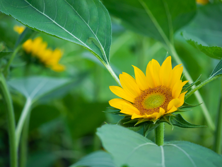 yellow sunflower blooming with green leaf background
