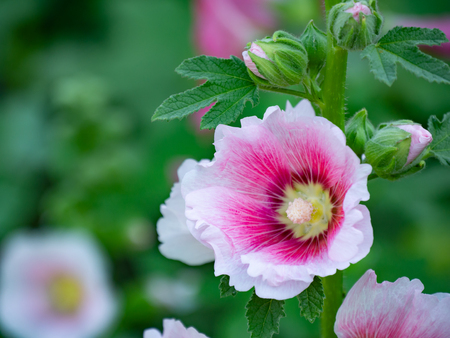 bloom alcea rosea (hollyhock) flower on blur green background Reklamní fotografie