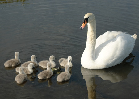Mother Swan and her Cygnets Stock Photo