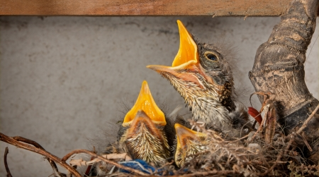fiscal fly catcher chicks in the nest waiting for food