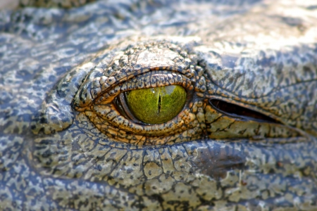 crocodile eye close up photo