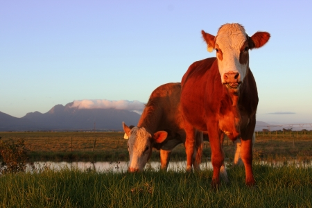 cow standing in a meadow grazing - warm light