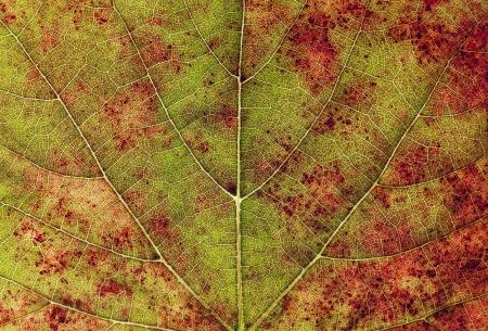 vein detail on an autumn leaf