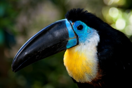 head and beak of the channel-billed toucan closeup photo