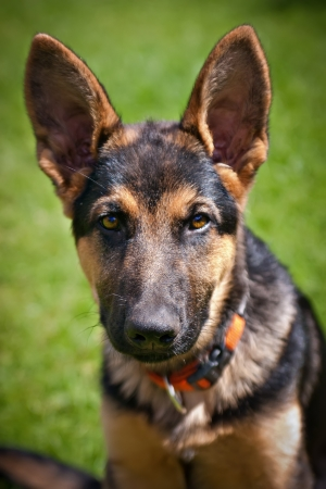 german shepherd puppy: german shepherd puppy with large ears and piercing eyes Stock Photo