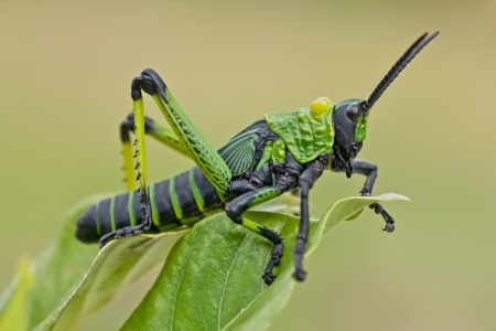 single green and black grasshopper locust perched on a leaf photo