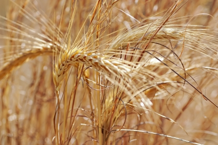 detail of dry wheat growing outdoors Stock Photo